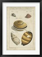 Framed Vintage Shell Study IV