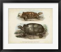 Framed Antique Turtle Pair I