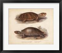 Antique Turtle Pair II Framed Print
