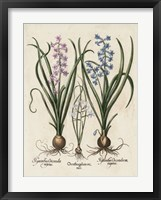 Framed Besler Hyacinth I
