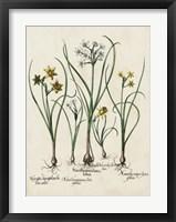 Framed Besler Narcissus II