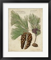 Framed Antique Conifers II