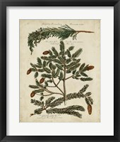 Framed Antique Conifers IV