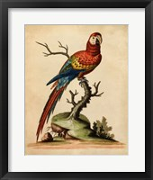 Framed Edwards Parrots I