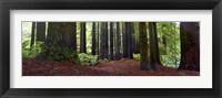 Framed Redwoods 1