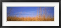 Framed Grass in a field, Marion County, Illinois, USA
