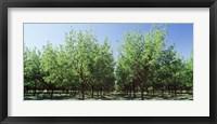 Framed USA, New Mexico, Tularosa, pecan trees
