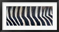 Framed Close-up of a Greveys zebra stripes and mane