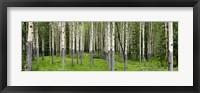Framed Aspen trees in a forest, Banff, Banff National Park, Alberta, Canada