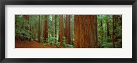 Framed Redwoods tree in a forest, Whakarewarewa Forest, Rotorua, North Island, New Zealand