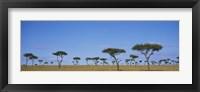Framed Acacia trees on a landscape, Maasai Mara National Reserve, Kenya