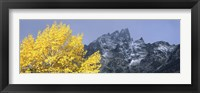 Framed Aspen tree with mountains in background, Mt Teewinot, Grand Teton National Park, Wyoming, USA