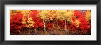 Framed Aspen and Black Hawthorn trees in a forest, Grand Teton National Park, Wyoming