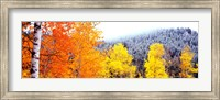 Framed Aspen trees in a forest, Blacktail Butte, Grand Teton National Park, Wyoming, USA