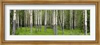 Framed Aspen Trees Banff, Alberta, Canada
