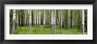 Framed Aspen trees in a forest, Banff, Banff National Park, Alberta, Canada