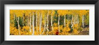 Framed Aspen Trees in Autumn, Dixie National Forest, Utah