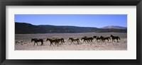 Framed Horses running in a field, Colorado