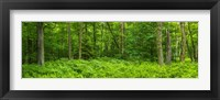 Framed Ferns blanketing floor of summer woods near Old Forge in the Adirondack Mountains, New York State, USA