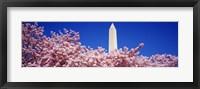 Framed Washington Monument and cherry blossoms, Washington DC