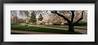 Framed Cherry trees in the quad of a university, University of Washington, Seattle, Washington State
