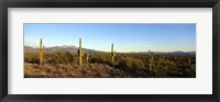 Framed Saguaro cacti in a desert, Four Peaks, Phoenix, Maricopa County, Arizona, USA