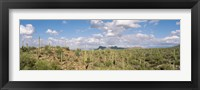 Framed Saguaro National Park Tucson AZ USA