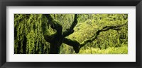 Framed Moss growing on the trunk of a Weeping Willow tree, Japanese Garden, Washington Park, Portland, Oregon, USA