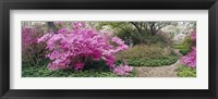 Framed Azalea flowers in a garden, Garden of Eden, Ladew Topiary Gardens, Monkton, Baltimore County, Maryland, USA