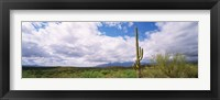 Framed Cactus in a desert, Saguaro National Monument, Tucson, Arizona, USA