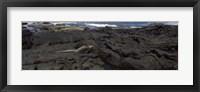 Framed Marine iguana (Amblyrhynchus cristatus) on volcanic rock, Isabela Island, Galapagos Islands, Ecuador