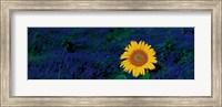 Framed France, Provence, Suze-La-Rouse, sunflower in lavender field