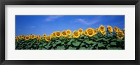 Framed Field Of Sunflowers, Bogue, Kansas, USA