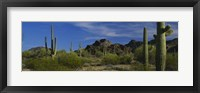 Framed Cactus plant on a landscape, Sonoran Desert, Organ Pipe Cactus National Monument, Arizona, USA