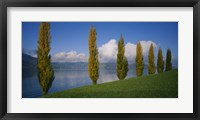 Framed Row of poplar trees along a lake, Lake Zug, Switzerland