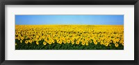 Framed Sunflower Field, North Dakota, USA