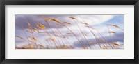 Framed Wheat Stalks Blowing, Crops, Field, Open Space