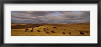 Framed High angle view of buffaloes grazing on a landscape, North Dakota, USA