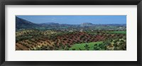 Framed Olive Groves Andalucia Spain