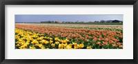 Framed Field Of Flowers, Egmond, Netherlands