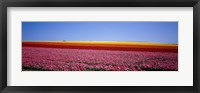 Framed Field Of Flowers, Near Encinitas, California, USA