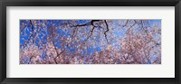 Framed Low angle view of cherry blossom trees, Washington State, USA