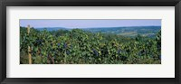 Framed Bunch of grapes in a vineyard, Finger Lakes region, New York State, USA