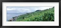 Framed Vineyard on a hillside in front of a lake, Lake Geneva, Rivaz, Vaud, Switzerland