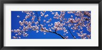 Framed Cherry Blossoms Washington DC