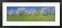 Framed View Of Blossoms On Cherry Trees, Zug, Switzerland