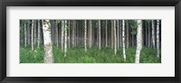 Framed Birch Forest, Punkaharju, Finland