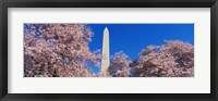 Framed Cherry Blossoms Washington Monument