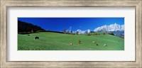 Framed Cattle Graze in Alps Wilder Kaiser Going Austria