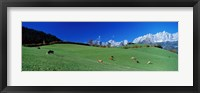 Framed Cattle Graze in Alps Wilder Kaiser Going Austria